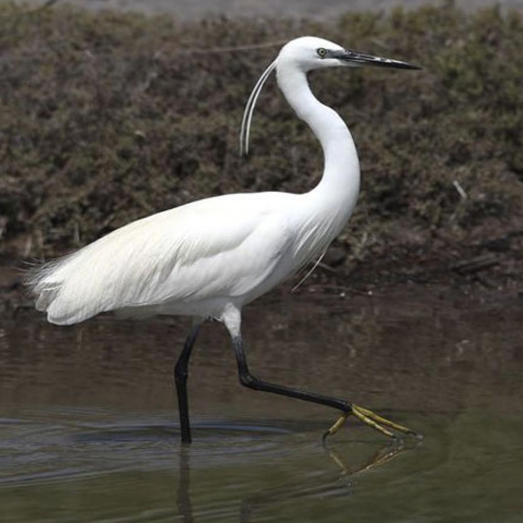 Μεγάλο μεσαίο ανατολικό πουλί